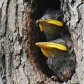 Hnízdoši